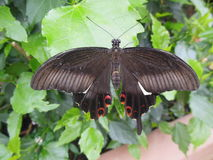 Butterfly leaf. Butterfly sitting on a leaf brown green Royalty Free Stock Photos