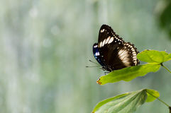 Butterfly sitting on a leaf. A butterfly sitting on a leaf in a sunny summer day Stock Image