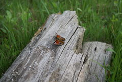 Butterfly sitting on a log. Multicoloured butterfly sitting on a dry log Royalty Free Stock Photos
