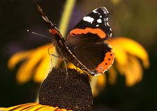 Butterfly sitting on the marigold Royalty Free Stock Images