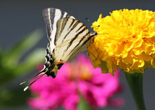 Butterfly sitting on marigold flower. Butterfly Scarce Swallowtail sitting on marigold flower Royalty Free Stock Images