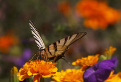 Butterfly sitting on marigold flower Stock Photos