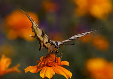 Butterfly sitting on marigold flower Stock Photo