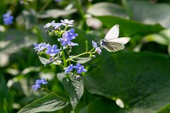 Butterfly sitting on meadow violet flower. White butterfly sitting on meadow violet flower stock photo
