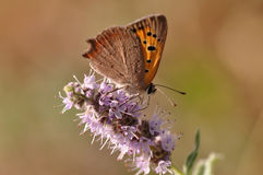 Butterfly sitting on mint flower. Macro detail of European butterfly sitting on a mint flower royalty free stock photos