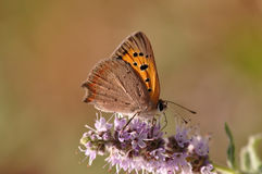 Butterfly sitting on mint flower. Macro detail of European butterfly sitting on a mint flower royalty free stock photography
