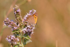 Butterfly sitting on mint flower. Macro detail of European butterfly sitting on a mint flower stock photography