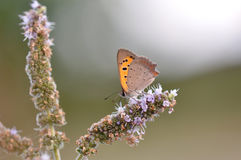 Butterfly sitting on mint flower. Macro detail of European butterfly sitting on a mint flower stock image