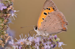 Butterfly sitting on mint flower. Macro detail of European butterfly sitting on a mint flower royalty free stock images