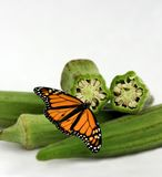 Butterfly sitting on okra Stock Image