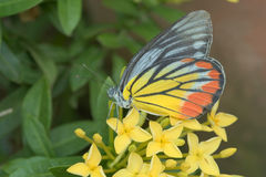 Butterfly sitting over a chunk of yellow ixora Stock Photo
