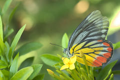 Butterfly sitting over a yellow ixora flowers. Colorful butterfly sitting over a yellow ixora flowers royalty free stock image