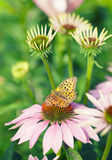 Butterfly sitting on pink echinacea  flower Stock Photos