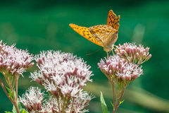 A butterfly sitting on a pink flower Royalty Free Stock Photo