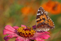 Butterfly sitting on pink flower Royalty Free Stock Image