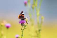Butterfly sitting on a pink flower spikes Stock Images