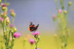 Butterfly sitting on a pink flower spikes Stock Image