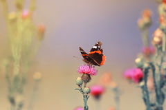 Butterfly sitting on a pink flower spikes Royalty Free Stock Images