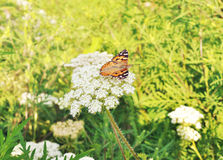 Butterfly sitting on a plant Royalty Free Stock Photos
