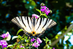 Butterfly sitting on a plant with purple flowers Royalty Free Stock Image