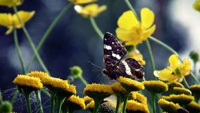 Butterfly sitting on a yellow flower coltsfoot, spring. Butterfly sitting on a pretty yellow flower coltsfoot, spring, closeup stock image