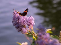 Butterfly sitting on a purple blossom at the afternoon and a fly. Flies by, water in the background royalty free stock image