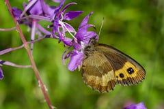 Butterfly sitting on purplish flower. Erebia neriene stock photography
