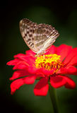 Butterfly sitting on a red flower Stock Photography