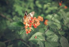 Butterfly sitting on red flowers Royalty Free Stock Photo