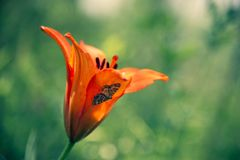 Wild blooming orange lily flowers. Lilium dahuricum, Lilium pensylvanicum royalty free stock photo
