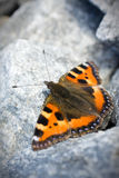 Butterfly sitting on the rock. Close-up of red butterfly sitting on the rock stock photos
