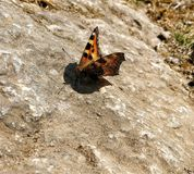 Butterfly sitting on the rock royalty free stock photos