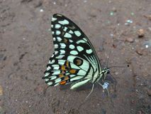 Butterfly. Sitting on soil.  butterflies insect color colourful beautiful Stock Photo