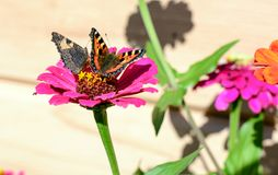 Butterfly sitting on a spring bright colorful flowers stock images