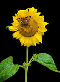 Butterfly sitting on a sunflower on a black background Royalty Free Stock Photo