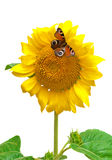Butterfly sitting on a sunflower isolated on a white background Royalty Free Stock Photos