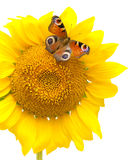 Butterfly sitting on a sunflower on a white background Royalty Free Stock Photos