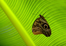 Butterfly sitting on the surface of a green leaf. A butterfly sitting on the surface of a green leaf Royalty Free Stock Photos