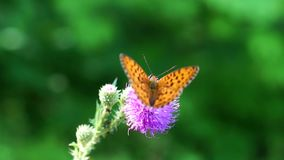 Butterfly sitting on a thistle flower stock footage