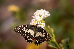 Butterfly sitting on white flower. A close-up view of a beautiful butterfly sitting on white flower Royalty Free Stock Photos