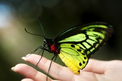 Butterfly sitting on womam hand outdoor. Butterfly sitting on womam hand outdoor in nature stock photos