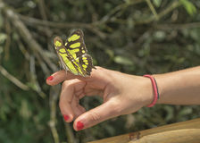 Butterfly Sitting on Woman Finger Royalty Free Stock Image