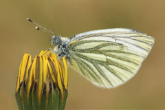 Butterfly is sitting on a yellow dandelion. Pieridae butterfly is sitting on a yellow dandelion stock images