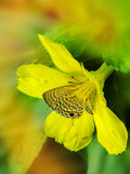 Butterfly sitting on a yellow flower hiding in pollen stacks. Stock Photography