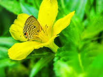 Butterfly sitting on a yellow flower hiding in pollen stacks. Royalty Free Stock Image