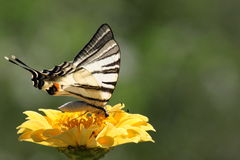 Butterfly sitting on zinnia Stock Images