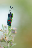 Butterfly: Six-spot Burnet Royalty Free Stock Images