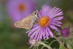 Butterfly, Skipper Stock Images