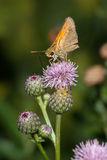 Butterfly, Skipper Royalty Free Stock Photography
