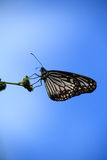 A butterfly in a sky background. A butterfly sitting on a plant with sky background Stock Photos